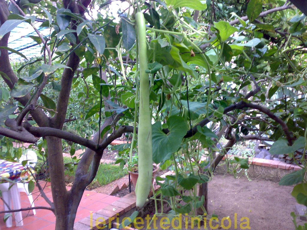 zucchina-lunga-e-tenerumi